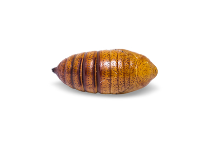 Close up of Cricula Silkmoth (Cricula Trifenestrata) pupa, isolated on white background with clipping path Stock Photo