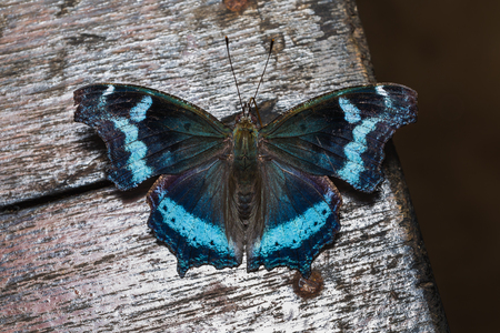 Close up of Blue Admiral (Kaniska canace) butterfly, dorsal view