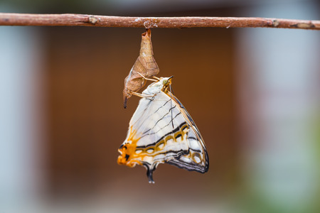 emergence: Close up of new born Common Map (Cyrestis thyodamas) butterfly after its emergence from its pupa