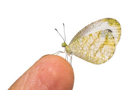 psique: Primer plano de la psique (leptosia nina) oruga sobre dedo humano, aislado en fondo blanco con trazado de recorte