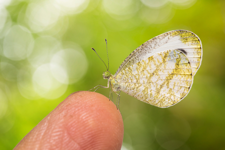 Close up of Psyche (Leptosia nina) butterfly perching on human finger, isolated on nature background with clipping path