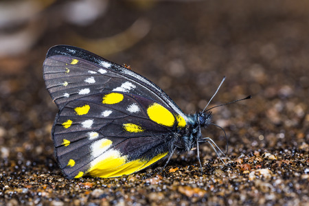 belladonna: Close up of Hill Jezebel (Delias belladonna) butterfly puddling on the ground in nature
