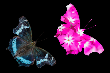 Close up of Blue Admiral (Kaniska canace) butterfly and pink flower in same shape as the butterfly, black background