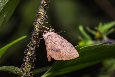 possibly: Close up of Brownie butterfly (Miletus sp. possibly Miletus ancon or Miletus croton) and ants colony in nature