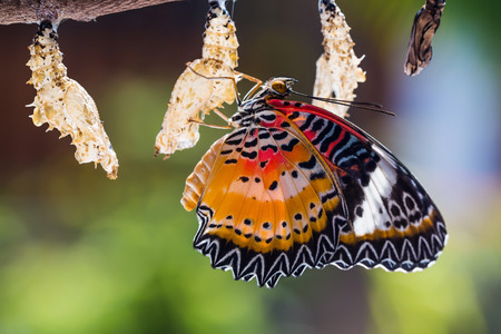 Close up of new born male Leopard lacewing (Cethosia cyane euanthes) butterfly after its emergence from its pupa