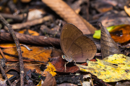 Close up of Common Faun (Faunis canens) butterfly feeding in nature Stock Photo
