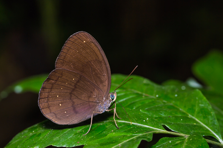 Close up of Common Faun (Faunis canens) butterfly on green leaf in nature Stock Photo