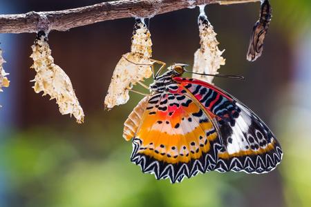 その蛹からの出現の後に生まれた男性ヒョウ クサカゲロウ (Cethosia cyane euanthes) 蝶のクローズ アップ