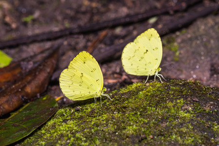 Close up of Three-spot Grass Yellow (Eurema blanda) butterflies puddling on the ground in nature