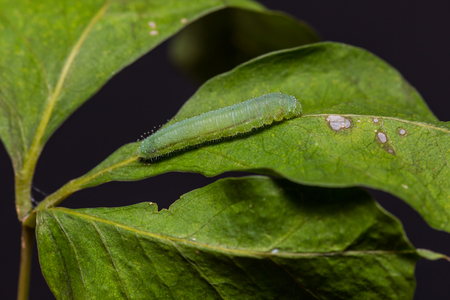 Close up of Psyche (Leptosia nina) caterpillar on its host plant leaf in nature Stock Photo