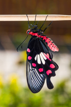metamorphosis: Close up of newly born common rose (Pachliopta aristolochiae) butterfly clinging on stick, nature background