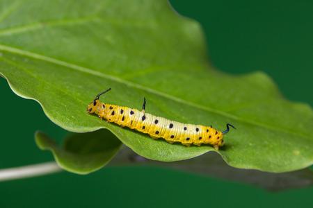 Close up of Intermediate Maplet (Chersonesia intermedia) caterpillar on its host plant leaf