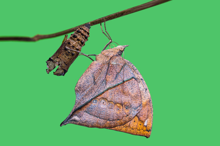 Close up of new born Orange oakleaf or Dead leaf (Kallima inachus) butterfly after its emergence from its pupa, isolate with clipping path
