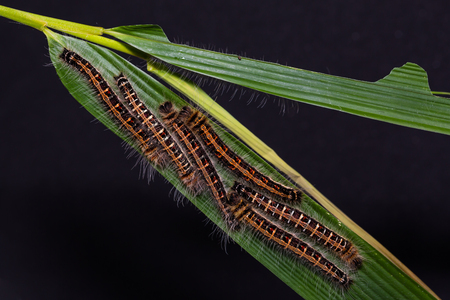 Close up of Common Duffer (Discophora sondaica) caterpillars on their host plant leaf, late instar
