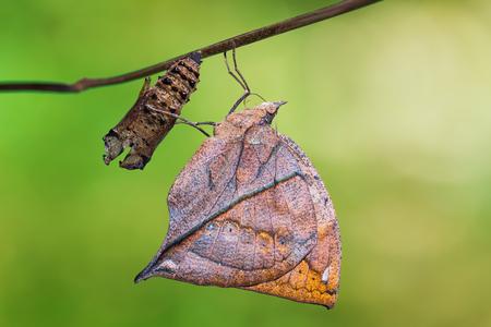 その蛹からの出現の後生まれたオレンジ oakleaf または死んだ葉 (Kallima イナコス) 蝶のクローズ アップ、クリッピング パスの特定