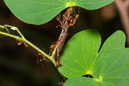 Close up of teamwork Red Weaver ants attack the Termite Assassin Bug (Valentia compressipes) on green leaf in nature Stock Photo
