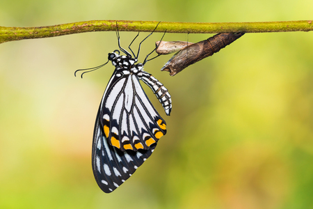 Close up of newly born Common Mime (Papilio clytia) butterfly clinging beside its pupal case, isolated on nature background with clipping path