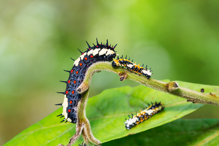 mimo: Close up of Common Mime (Papilio clytia) caterpillars on its host plant