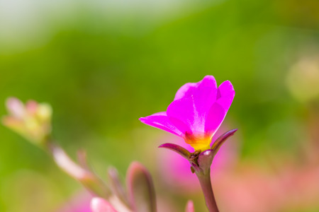 Close up of common purslane flower in the garden Stock Photo