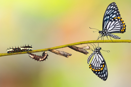 Common Mime (Papilio clytia) butterfly life cycle from caterpillar to pupa and its adult form, isolated on nature background with clipping path