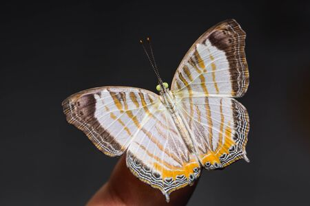 Close up of Little Map (Cyrestis themire) butterfly on human finger, dorsal view Stock Photo