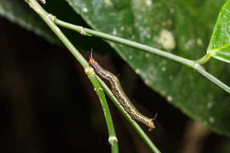 Close up of Little Map (Cyrestis themire) caterpillar on its host plant stem Stock Photo