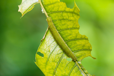 Close up of Chocolate Albatross (Appias lyncida) caterpillar on its host plant leaf in nature Stock Photo