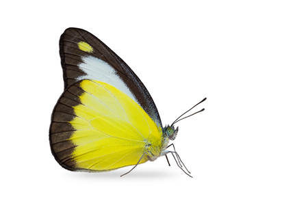 Close up of Chocolate Albatross (Appias lyncida) butterfly, isolated on white background with clipping path