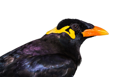 Close up of Common Hill Myna (Gracula religiosa intermedia), isolated on white background with clipping path Stock Photo