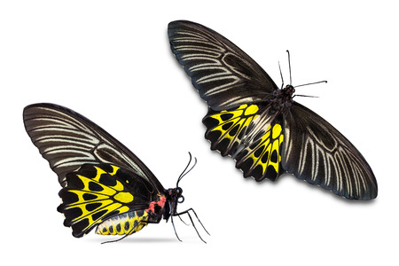 Close up of female Golden Birdwing (Troides aeacus) butterfly, isolated on white background with clipping path, lateral and dorsal view