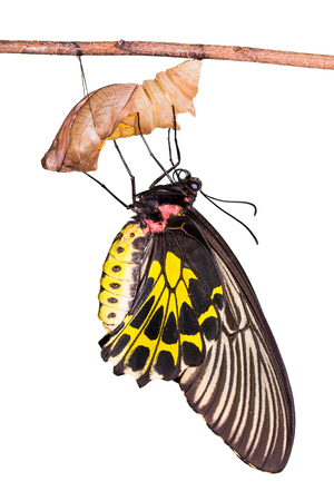 Close up of new born Golden Birdwing (Troides aeacus) butterfly after its emergence from its pupa, isolated on white background with clipping path Stock Photo
