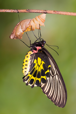 Close up of new born Golden Birdwing (Troides aeacus) butterfly after its emergence from its pupa, isolated on nature background with clipping path