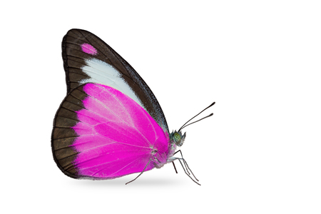 Close up of purple color Chocolate Albatross (Appias lyncida) butterfly, isolated on white background with clipping path