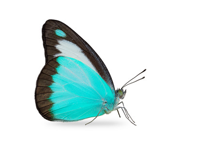 Close up of teal color Chocolate Albatross (Appias lyncida) butterfly, isolated on white background with clipping path 免版税图像