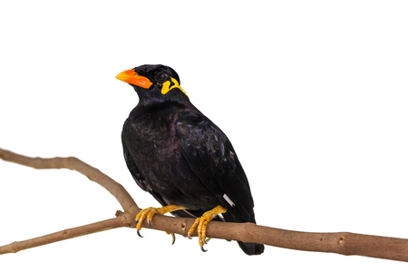 Close up of Common Hill Myna (Gracula religiosa intermedia), isolated on white background with clipping path 免版税图像