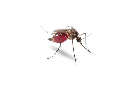 Gros plan du moustique de la fièvre jaune (Aedes aegypti) vivant plein de sang rouge dans son estomac (abdomen), isolé sur fond blanc