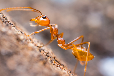 Close up of red weaver ant, lateral view Stock Photo