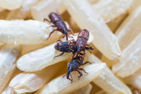 쌀 곡물에 성인 쌀 weevils (Sitophilus oryzae)의 닫습니다