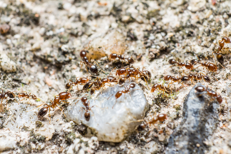 Red-brown ants (possibly be Myrmica genus) walk on the ground