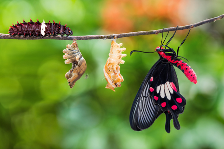 Common Rose (Pachliopta aristolochiae) butterfly life cycle from caterpillar to pupa and its adult form Stok Fotoğraf