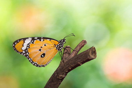 Close up of Plain Tiger (Danaus chrysippus chrysippus) butterfly in nature