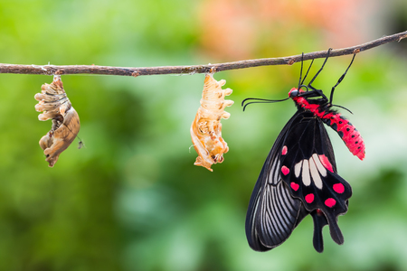 Close up of newly born Common Rose (Pachliopta aristolochiae) butterfly clinging beside its pupal case and another mature pupa