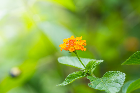 Close up of Lantana camara flower in nature, shallow dof