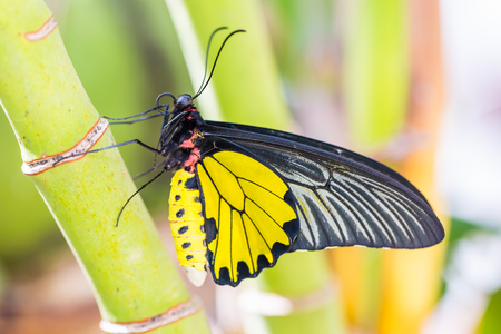 Close up of male Golden Birdwing (Troides aeacus) butterfly clinging on palm tree in nature Imagens