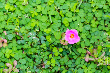 Close up of pink Common Purslane flower growing in the middle of Three-flower beggarweed (Desmodium triflorum) foliage, nature background Stock Photo