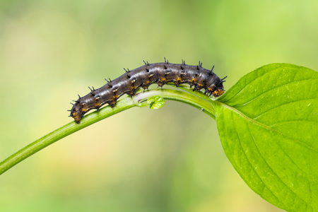 Close up of Blue pansy (Junonia orithya) caterpillar on its host plant in nature Stock Photo