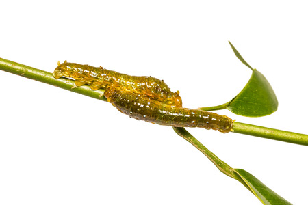 Close up of young Banded Swallowtail (Papilio demolion) caterpillars on their host plant stem, isolated on white background with clipping path