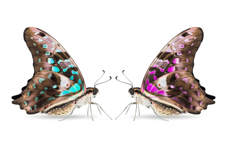 Close up of teal and purple color Tailed Jay (Graphium agamemnon) butterfly, lateral view, isolated on white background with clipping path