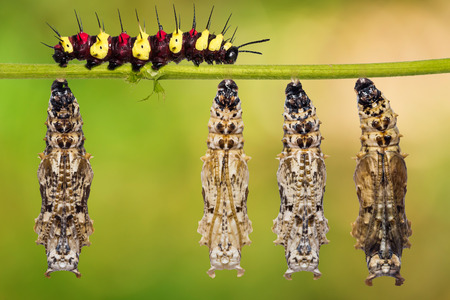 Leopard Lacewing (Cethosia cyane) pupae and mature caterpillar on their host plant stem, nature background