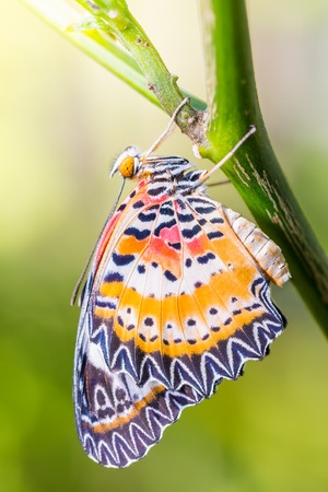 Butterfly in nature, close up of male leopard lacewing (Cethosia cyane euanthes) butterfly clinging on wood stem Stock Photo